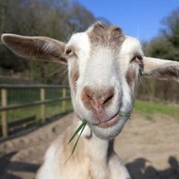 Goat Serious
