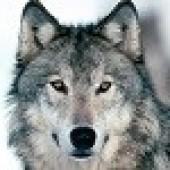 Wulffrith Wolf