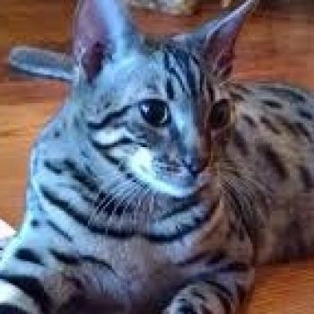 Cat CA