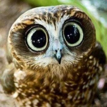 Owlie FX