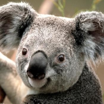 koala necis
