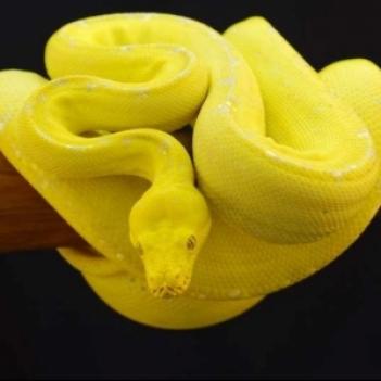 Lemon Snakes